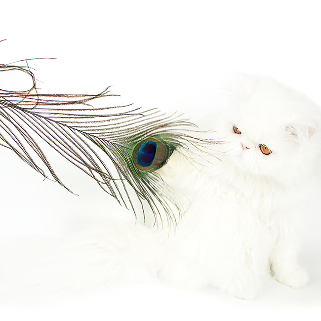 seoul-pet-PEACOCK FEATHER HUNTING TOY♡寵物配件